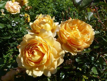 Les printemps de Terra : La rose