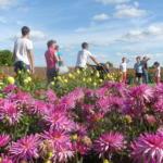 La Féerie des Dahlias Crédit photo : Terra Botanica